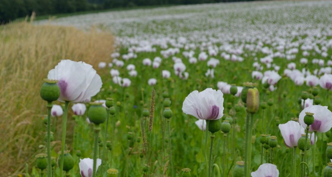 Die Samenkapseln des Schlafmohns enthalten Milchsaft, der als Opiumrohstoff dient.