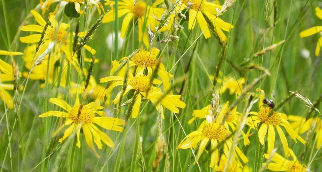 Foto der Heilpflanze Arnika