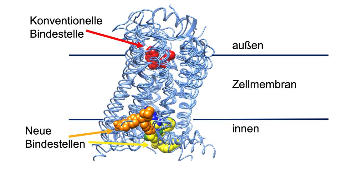 schematische Abbildung, konventionelle Bindestellen eher an Außenseite der Zellmembran, neue Bindestellen eher an Innenseite der Zellmembran