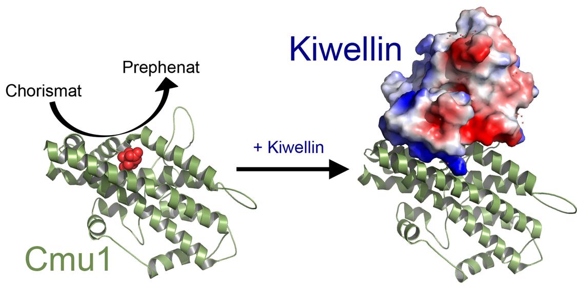 schematische Darstellung der Bildung von Kiwellin