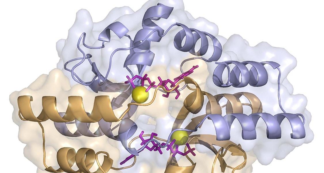 Das Schemabild zeigt die dreidimensionale Gestalt eines Proteins der ParB-Familie. Die CTP-Moleküle sind in violett eingezeichnet. Die beiden durch CTP verbundenen Proteinketten sind in blau und orange dargestellt. Magnesium-Ionen sind in gelb gezeigt.