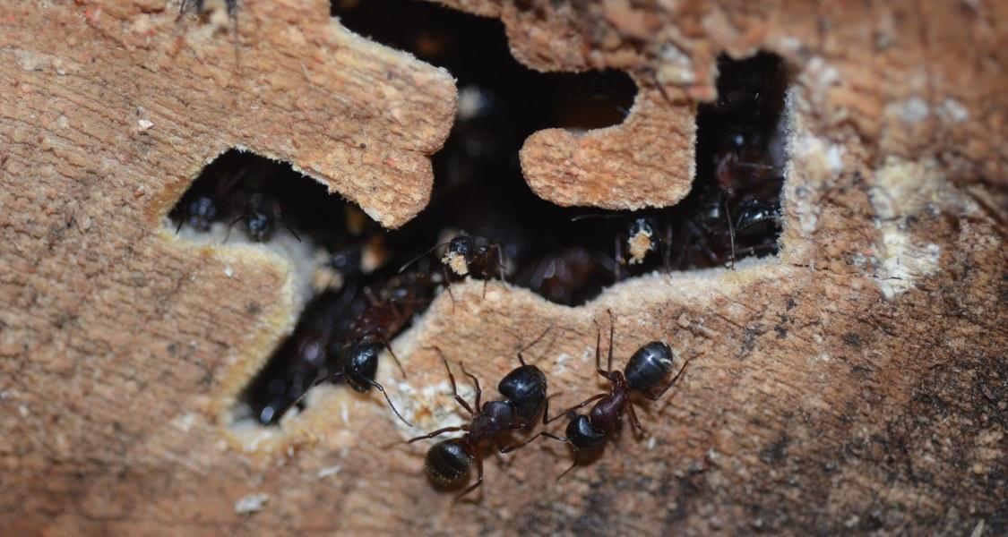 Foto von Ameisen in Totholz