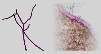 Hyphen des filamentösen Pilzes Chaetomium thermophilum nach Einfärbung durch einen Chitin-bindenden Farbstoff (purpurn). Rechts ist ein elektronenmikroskopischer Ausschnitt der Chaetomium-Zellwand (purpurn) gezeigt. Dfg5-Enzyme bewirken die Übertragung von Zellwandproteinen (grün) aus der Plasmamembran (rot) auf Zuckerstränge der Oberfläche.