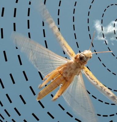Fliegende Wüstenheuschrecke unter dem blauen Himmel mit dem von der Sonne erzeugten Polarisationsmuster.
