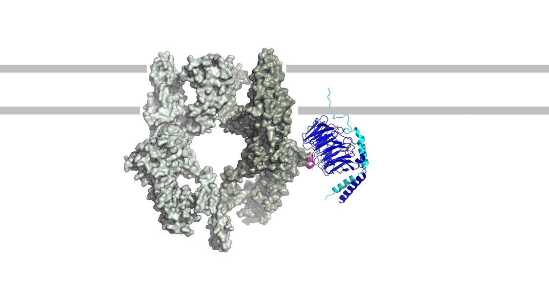 Wenn ein TRPM3-Kanal (links) und ein Gβγ-Protein (rechts) aneinander koppeln, führt dies zur Linderung von Schmerzen.