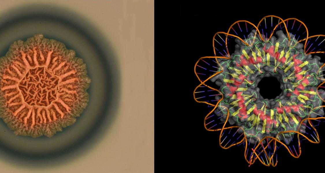Das Bakterium Bacillus subtilis bildet Biofilme (links), wobei das Protein RemA (rechts) die beteiligten genetischen Prozesse steuert; das Modell zeigt RemA mit aufgewickelter DNA. (Foto: Dr. Patricia Bedrunka, Proteinmodell: Dr. Tamara Hoffmann