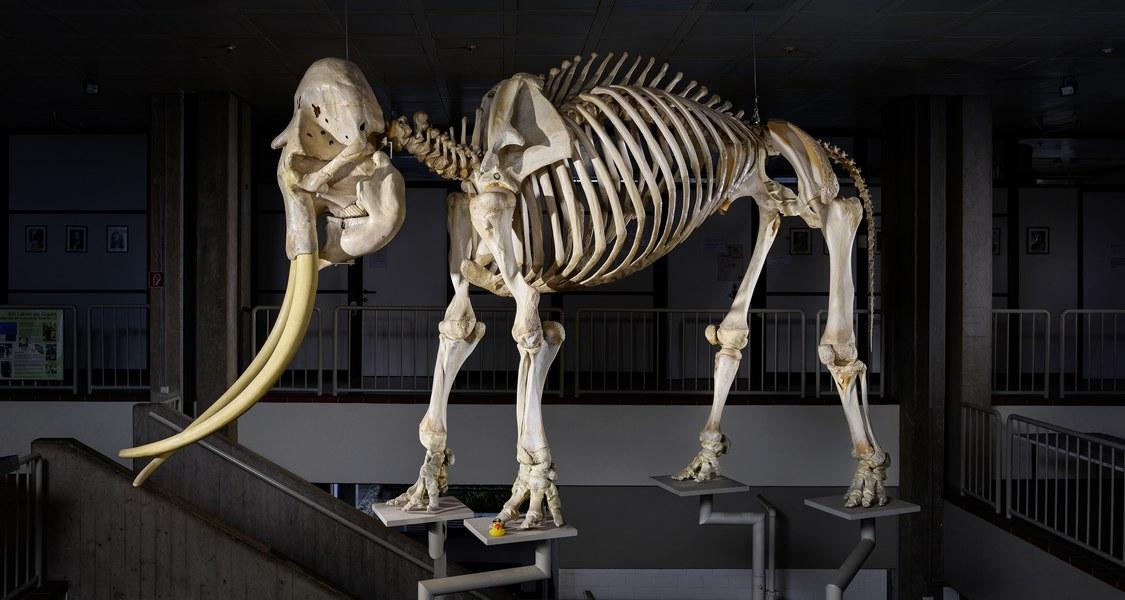 Totale des Skeletts, Skelett stark angeleuchtet, Hintergrund fast schwarz