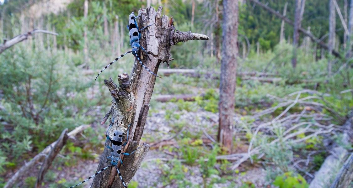 Der Alpenbock (Rosalia alpina) gehört zu den Bockkäfern. Seine Larven ernähren sich von abgestorbenem Holz. (Foto: Ralph Martin)