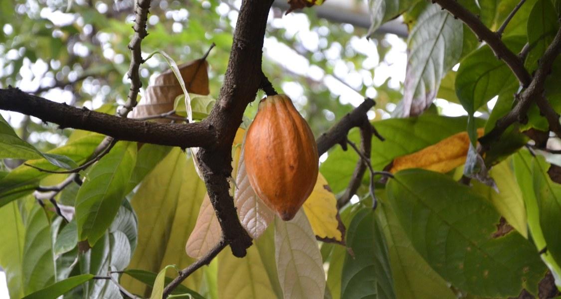 """Das Foto zeigt die Pflanze """"Theobroma cacao"""" im Nutzpflanzenhaus des Botanischen Gartens Marburg."""
