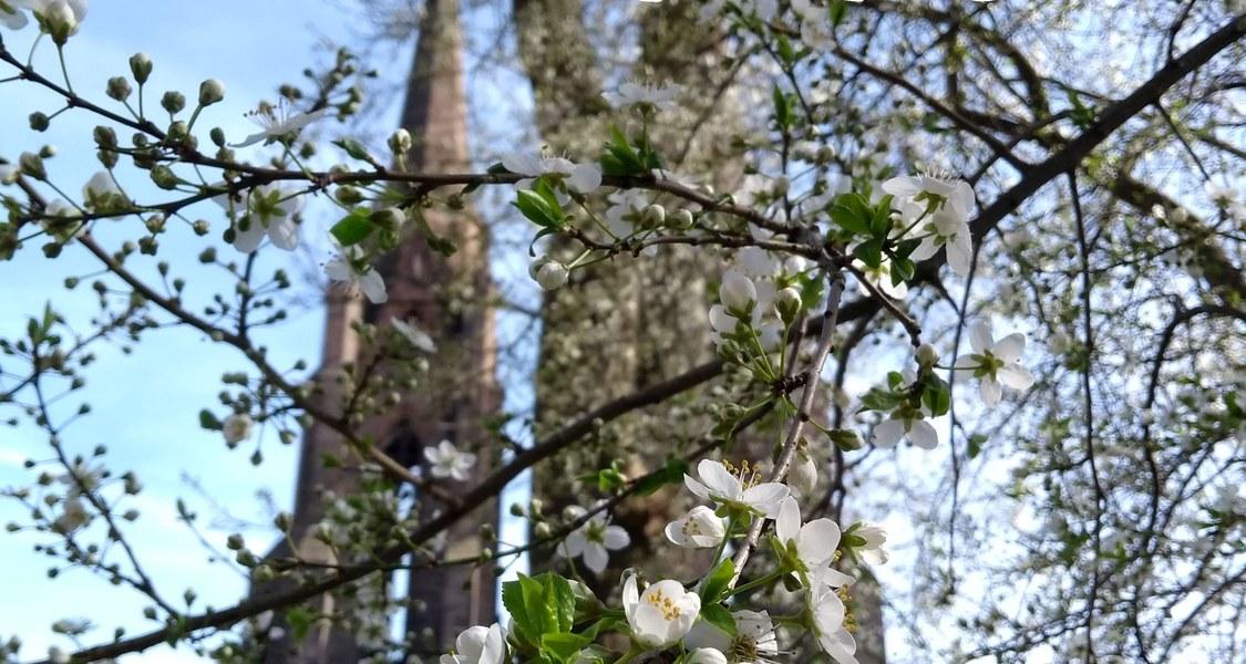 Vordergrund: Blühender Baum im Frühling Hintergrund: Elisabethkirche, Marburg