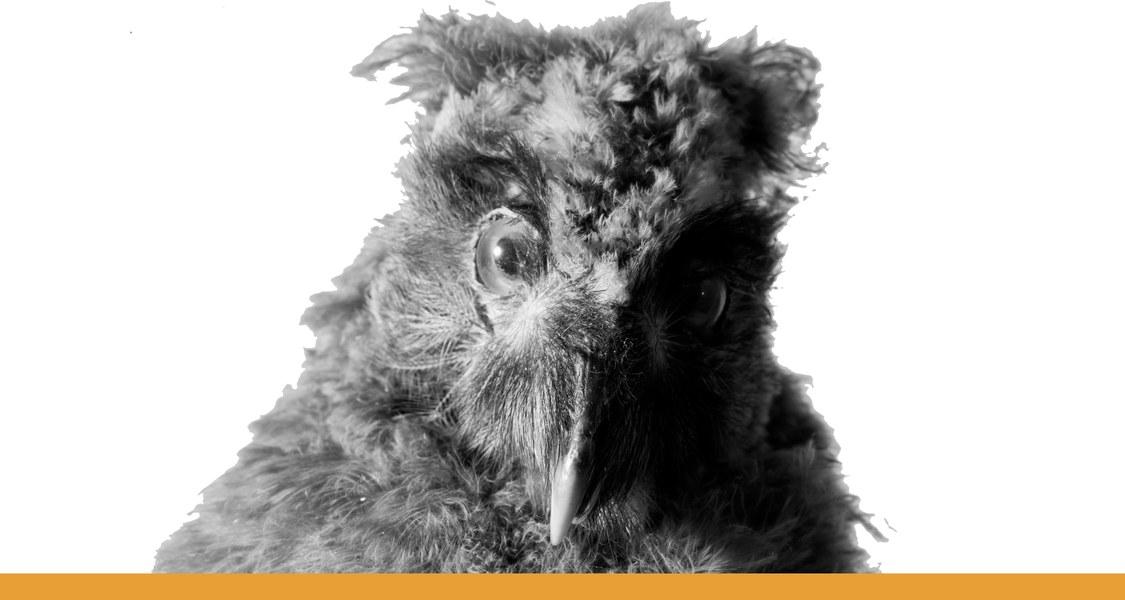 Eule mit Blick auf Betrachter / schwarz-weiß Fotografie mit orangem Unterstrich