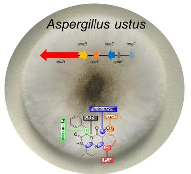 Schimmelpilz Aspergillus ustus