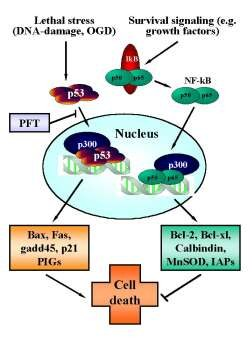 Reciprocal regulation of p53 and NF-kB transcriptional activity