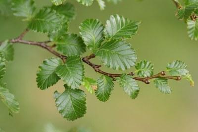Leaves of Nothofagus pumilio