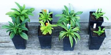 Unterschiedlich große Fingerhut Pflanzen in Töpfen