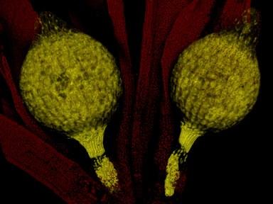twinsporophytes-2.jpg