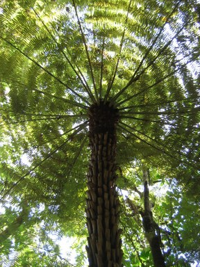 Tree fern, New Zealand