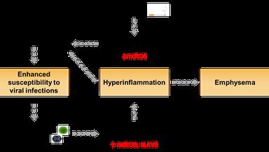Arbeitshypothese für die Rolle von Mitochondrien in der Exazerbation von virus-induzierter COPD und der Entstehung von Emphysemen.