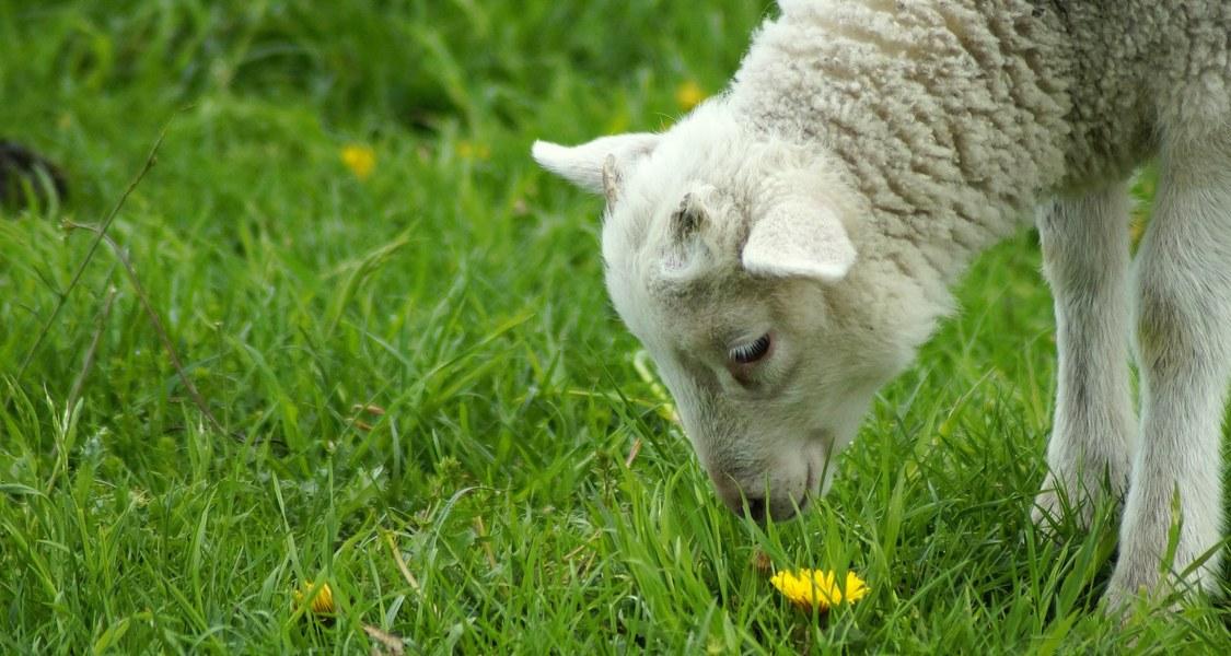 Lamm schnuppert an Gras