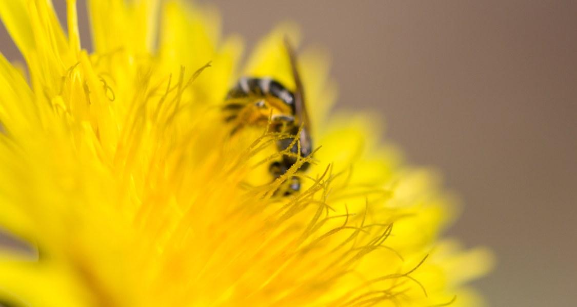 Eine Biene bestäubt eine Löwenzahnblüte