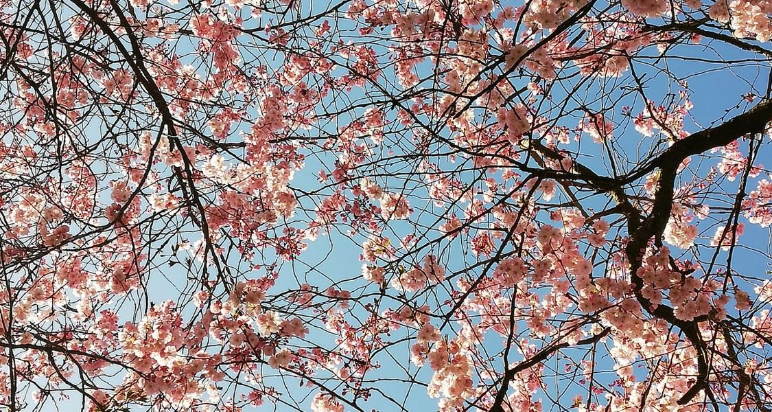 Blühende Kirschblütenbäume.