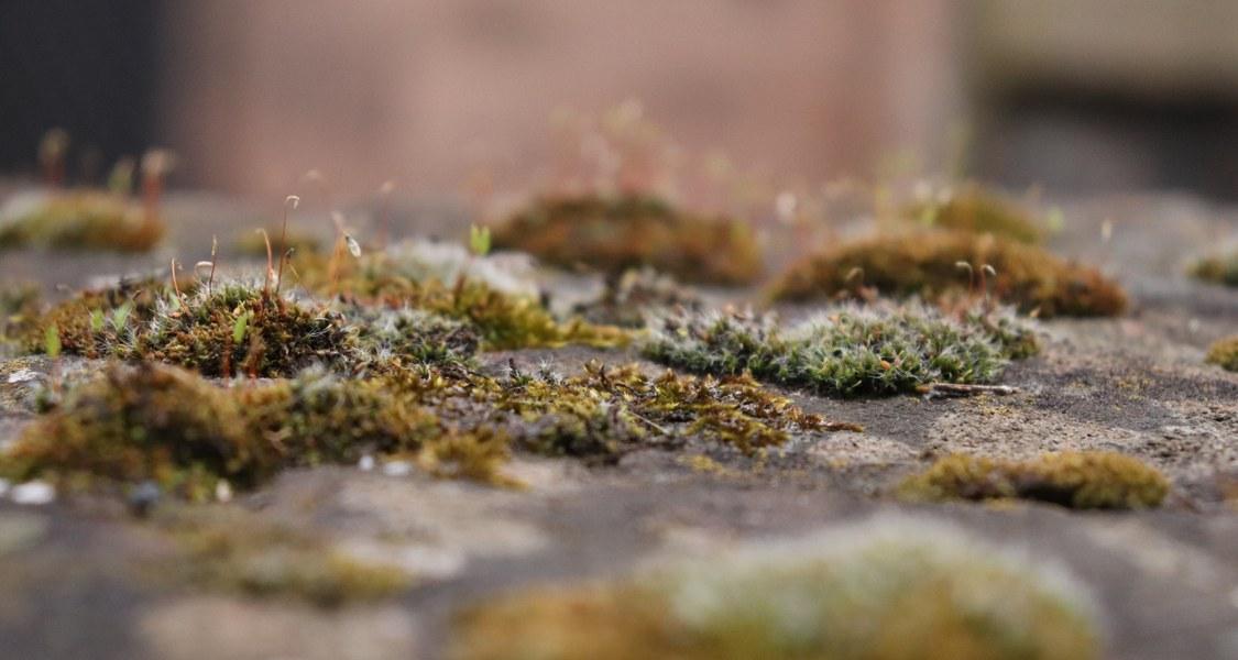 Auf einer Mauer wächst grünes Moos. Durch die Kameraeinstellung sieht man den Übergang der Tiefenschärfe.