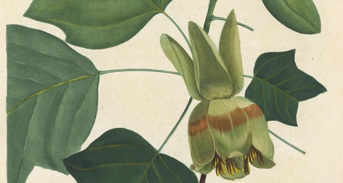 """AMERIKANISCHER TULPENBAUM (Liriodendron tulipifera) Lehrpfad der """"Martin-Luther-Schule Marburg"""""""