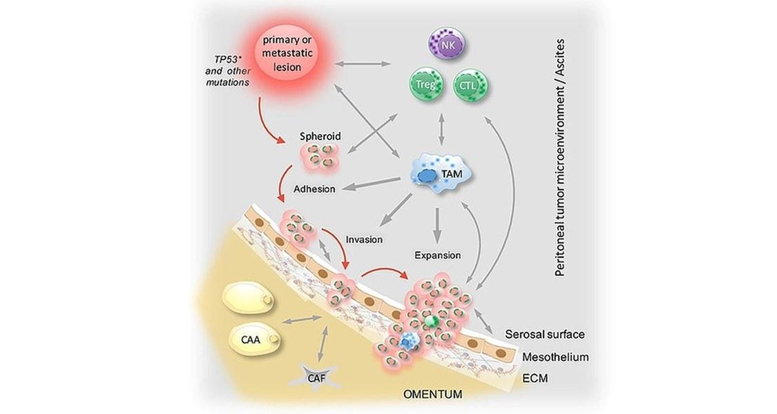 Peritonealtumor microenvironment / Ascites