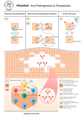 Interplay of PEGASUS TPs: From cell biology (TP4, TP5, TP6new) and immunology (TP2 and TP3) over pre-clinical mouse model (TP1) to clinical phase 1 trial (TP8).