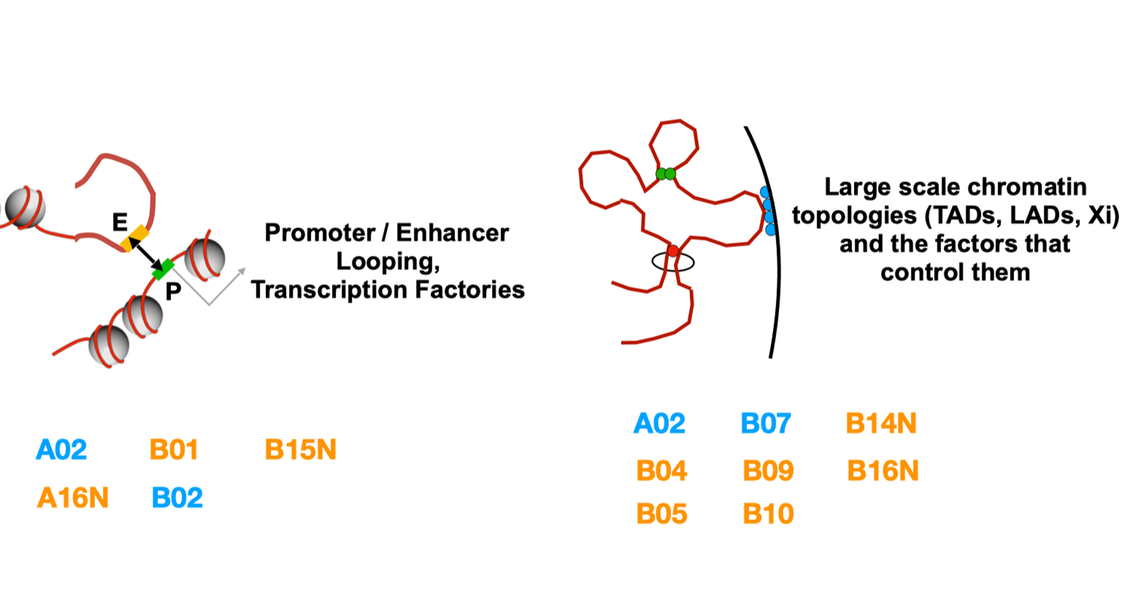 Group B projects focus on long range organization of chromatin in nuclear space. Structural proteins such as CTCF or cohesin drive chromatin folding, loop formation, intra- and inter-chromosomal contacts to regulate accessibility and activity of larger genomic regions. The PIs assigned to that group are listed in the text.