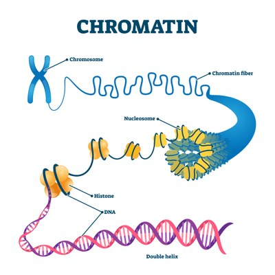 A chromosome is enlarged in multiple steps depicting the compacted chromatin fibre, the loosened DNA strand wrapped around nucleosomes, and finally the DNA double helix.
