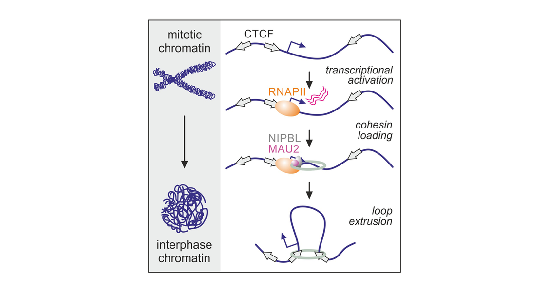 Using in situ Hi-C, it was shown that RNAPII is required for both compartment and loop establishment following mitosis. Evidence from cohesin/CTCF chromatin binding, super-resolution imaging, and in silico modeling pointed to these effects being a result of RNAPII-mediated cohesin loading upon G1 reentry.