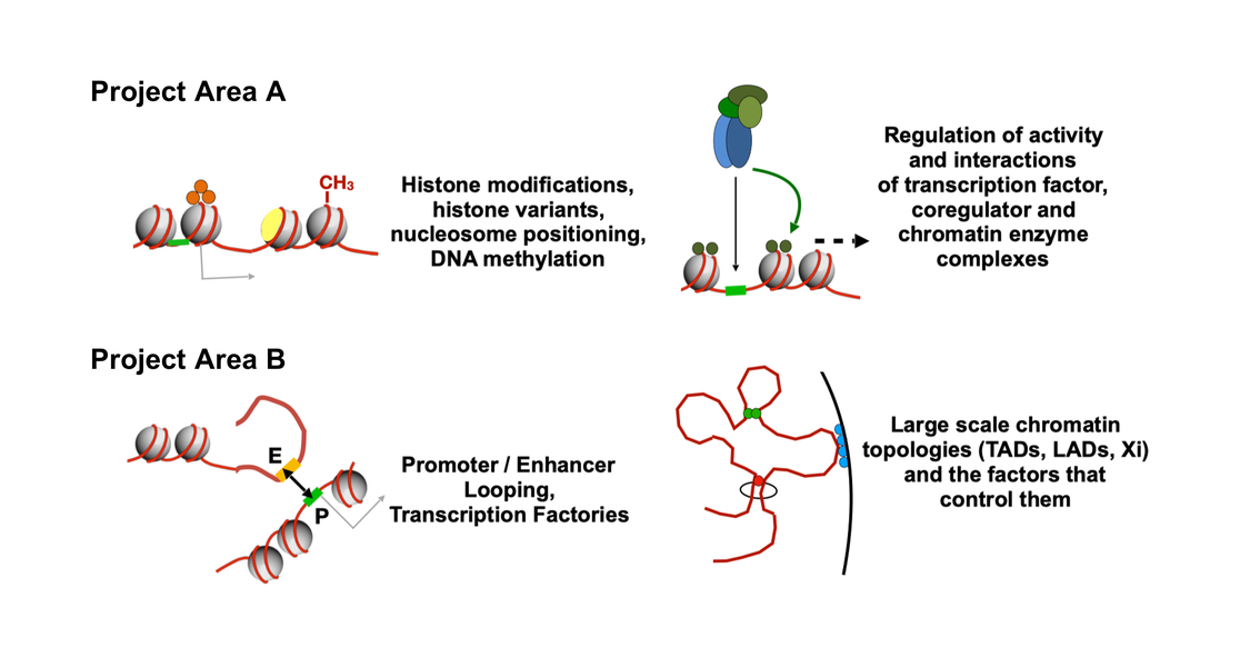 """The differentiation of cells is largely governed by changes to chromatin structure, which can occur locally or globally. These changes determine gene activity and thereby the developmental program in time and space. The two modes of chromatin regulation (local and global) are tightly interconnected but serve as a conceptual framework to divide the projects of the TRR 81 into two groups: """"A projects"""" focus on transcription factor and enzyme-driven chromatin changes and """"B projects"""" study the genomic organisation in nuclear space."""